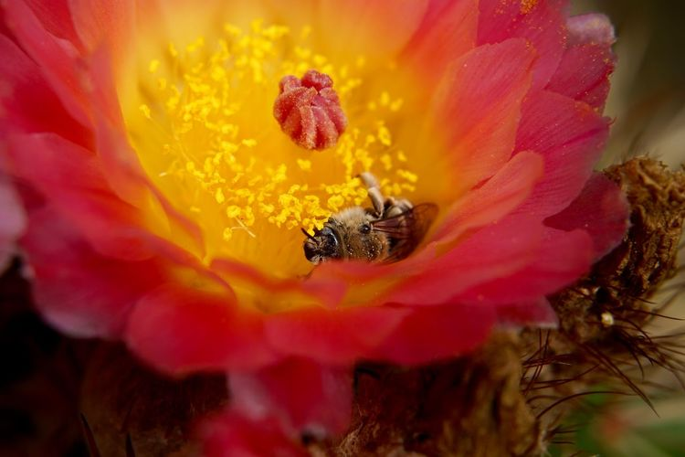 Close-up of bee in pink cactus flower