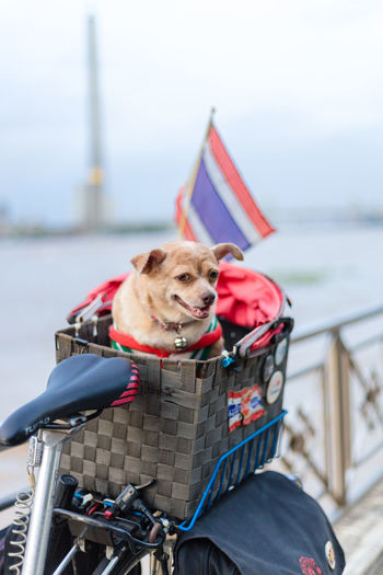 Dog in basket on bicycle against sky