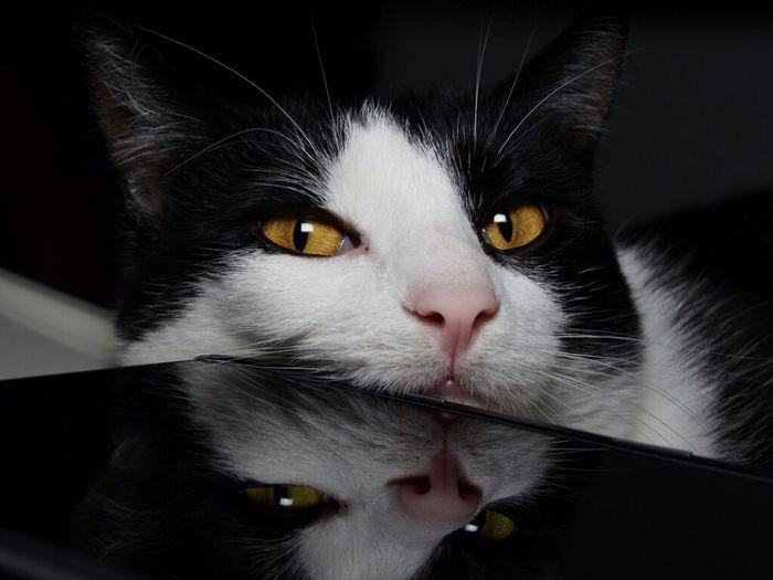 Mirror, mirror. Cat Reflection Reflections Animals Cats Kitty Animal Mirror Olympus Feline Olympus OM-D E-M5