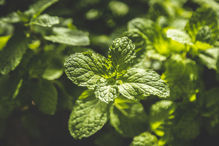 Close-up of fresh mint plant growing outdoors