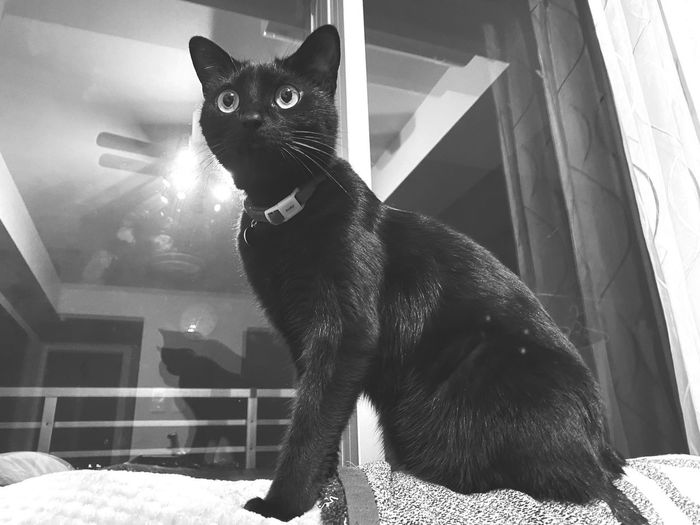 Portrait of black cat sitting at home