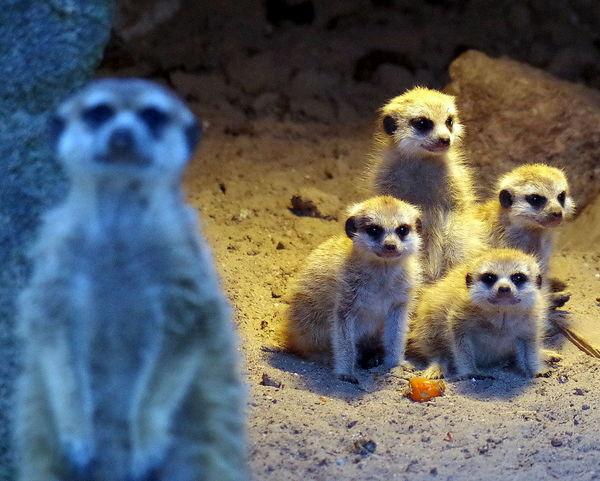 Animals Beobachten Erdmännchen Group Gruppe Meercats Observe Tiere Wärme Zoologie Zoology