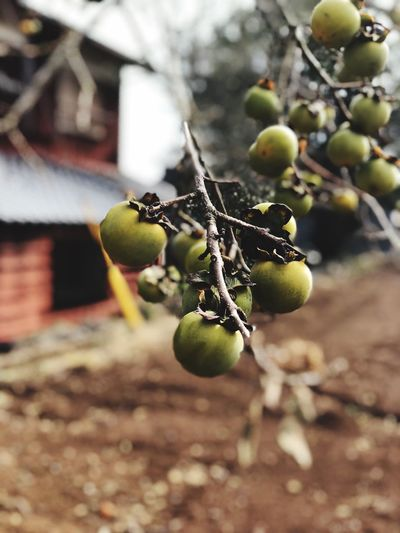Close Up Street Photography Street Streetphotography IPhone IPhoneX Fruit Growth Healthy Eating Focus On Foreground Food Food And Drink Close-up Day Plant No People Freshness Tree Wellbeing Branch Plant Part Nature Selective Focus Outdoors Green Color Leaf