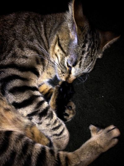 Cat Photography Close Up Color Photography Crazy Cat Foot Eater Funny Kitty Indoors  Kitty Cat Kitty Love Loves His Paw Personality  Playful Dog Single Animal Stripes Pattern Taking Photos Tasty Dishes