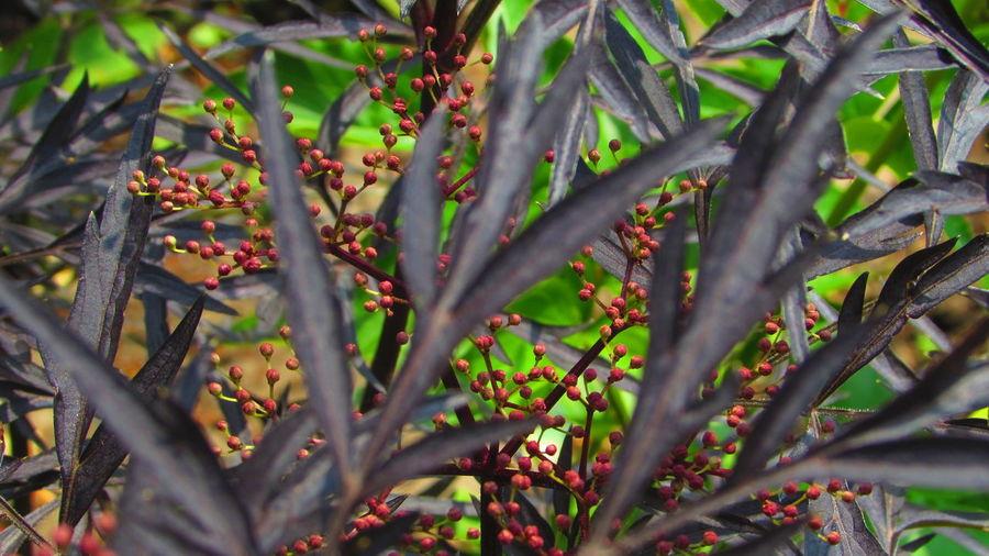 Sambucus Sambucus Nigra Cottage Garden  May May 2018 2018 Tree Flower Plant