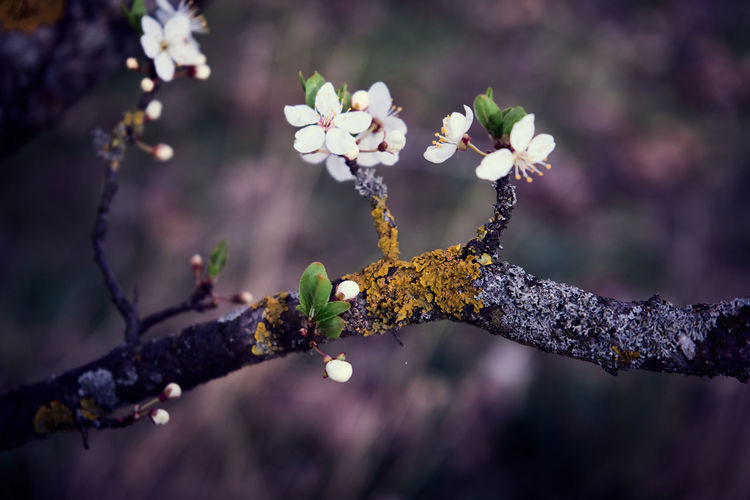 Close-up of cherry blossom on tree branch