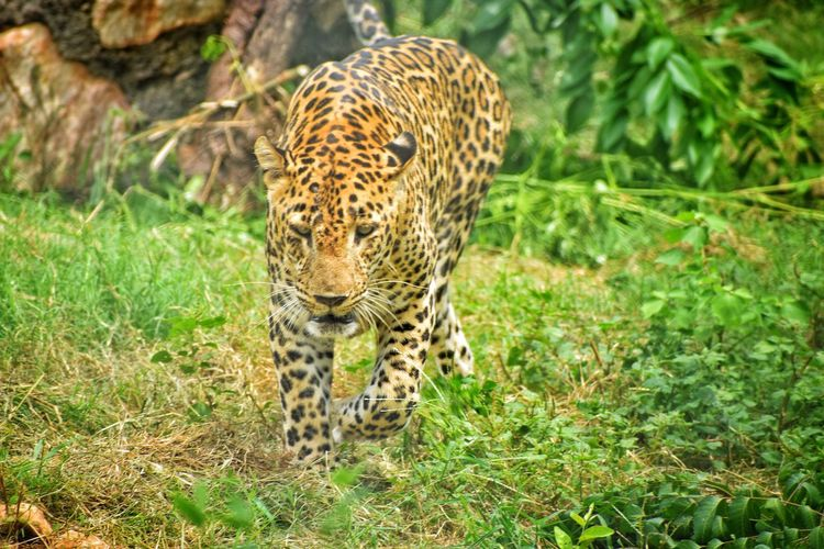 Walking leopard in forest Nature Photography Wildlife Wildlife & Nature Wild Wildlife Photography Wilderness Wild Animal Wildlifephotography Predator Spotted Cheetah Safari Animals Feline Spotted Animal Markings Animals Hunting Grass Big Cat Undomesticated Cat Cat Family Carnivora Endangered Species Captive Animals Threatened Species