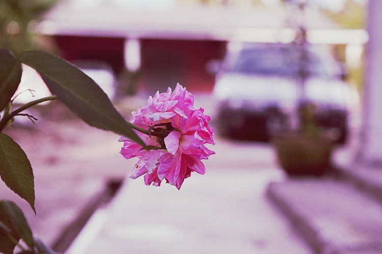Flower Pink Color Outdoors Roses Rosé Flower Head Plant Nature Sengaja Bayar Lambat Nak Uji Kejujuran Kepala Tokki Dia KBai