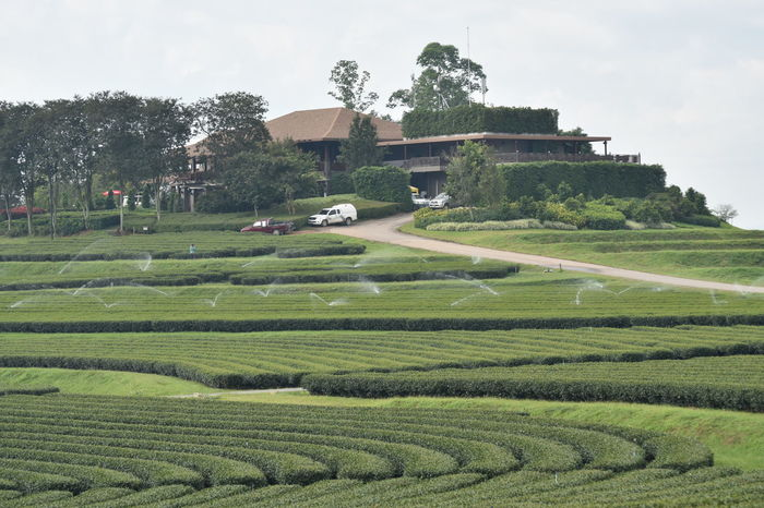 Agriculture Architecture Chaingrai Day Growth Landscape Nature No People Outdoors Singhapark Sky Teafield Tree