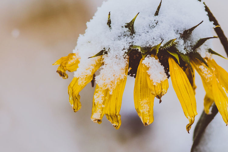 Yellow Cold Temperature Close-up Fragility Plant Vulnerability  Beauty In Nature Snow Flower Freshness Winter Flowering Plant No People Nature Inflorescence Flower Head Petal Growth Frozen Outdoors Pollen