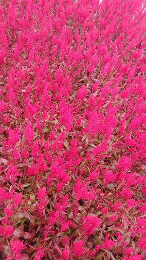 Nature Red Plant Flower Backgrounds Full Frame Pink Color Close-up Pink Petal In Bloom Plant Life Blossom Flower Head