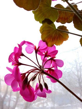 Geranium Flower Flower Head Geranium Blossom Petal Pink Color Freshness Window Domestic Plant Plant White Background Day Close-up Houseplant Houseplant Flower Millennial Pink