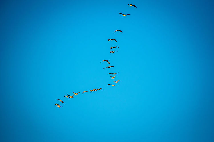 Low angle view of birds flying in clear blue sky