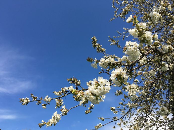 Close-Up High Section Of Flower Tree Against Blue Sky