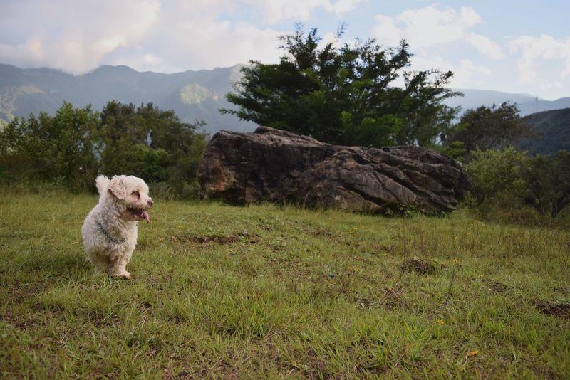 Juguete VI Dog Nature Pets Landscape Mexico Nikond3300 D3300 Maltese Dog Outdoors