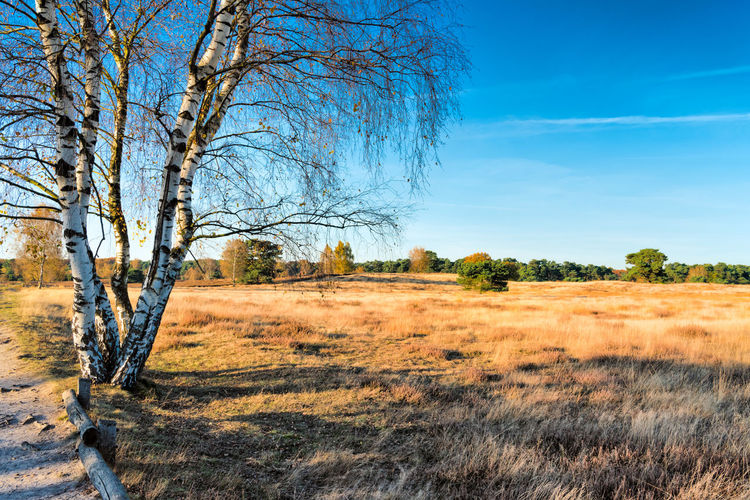 HALTERN, GERMANY - OCTOBER 31, 2016: Westruper Heide - Scenic heather landscape with deep blue sky and solitaire trees Autumn Beauty In Nature Blue Sky Contrst Details First Eyeem Photo Germany Growth Haltern Am See Heather Heidelandschaft Herbst High Resolution Landscape Ländlich Nature Outdoors Plants Rural S Sheep Sunny Tree Westruper Heide
