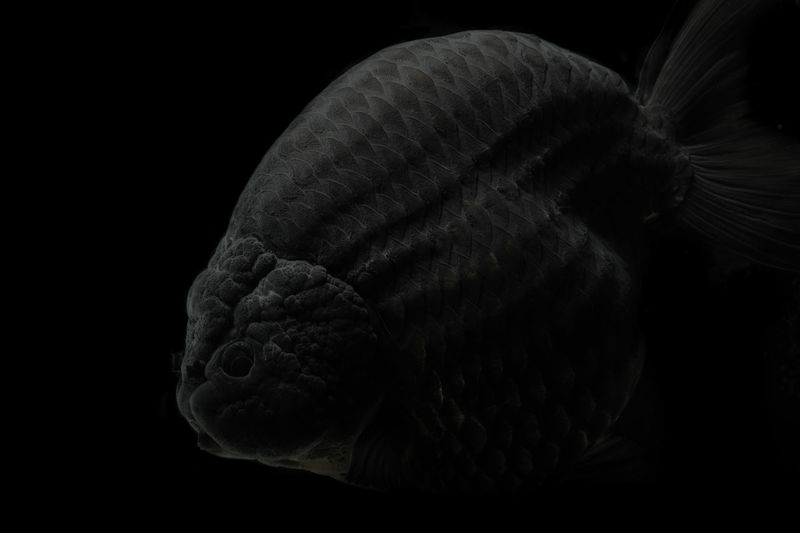 Close-up of shell over black background