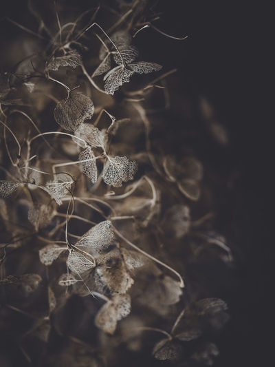 Dark and moody macro dead hydrangea skeleton Plant Dry Nature No People Close-up Flower Selective Focus Fragility Beauty In Nature Growth Land Vulnerability  Field Day Flowering Plant Dead Plant Dried Plant Outdoors Focus On Foreground Tranquility Wilted Plant Dried