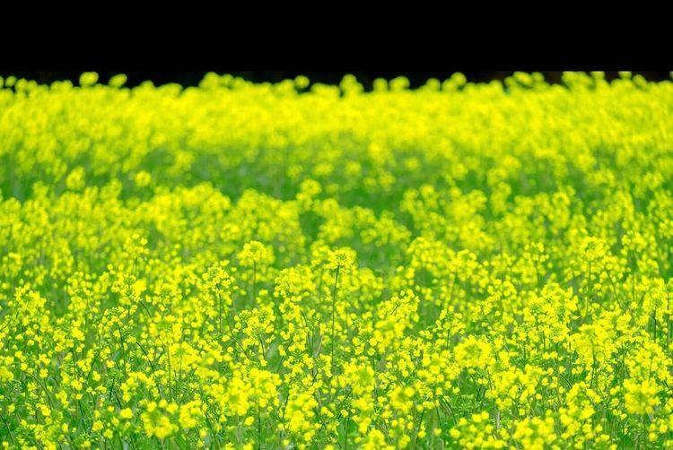 マドロミ Fujifilm_xseries Flower Yellow Beauty In Nature Landscape Flowering Plant Crop  Rural Scene Springtime Oilseed Rape