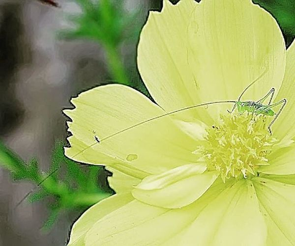 Little grasshover. Yellow Grasshover Belalang Ig_macro Tgif_macro Macroworld_tr Macroholics Littleworld Garden_explorer Uwn_macro Bns_macro Cool Nice Cute