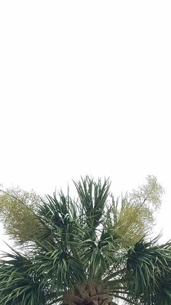 No Filter Palm Tree Sky Green Color Green Clear Sky Growth Backgrounds Background Wallpaper Tree Palm Trees Palm Tree Palms Tropical Sky And Trees Hilton Head Hilton Head Island Hilton Head Island, SC SC Trees Plain Simple Simplicity Plain & Simple