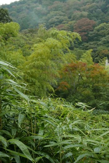 Early fall in Japan in the Hakone region...as seen from rhe back window of our private bath at the ryokan. Japan Landscape Landscape_Collection Hakone Scenery The Human Condition The Traveler - 2015 EyeEm Awards The Purist (no Edit, No Filter) Leaves Fall Colors Fall