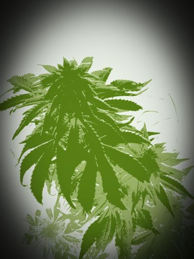 An edited photo from my plant of this year Weed Flowerporn Weed Plant Ganja Farmer