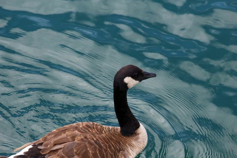 High angle view of canada goose swimming on lake