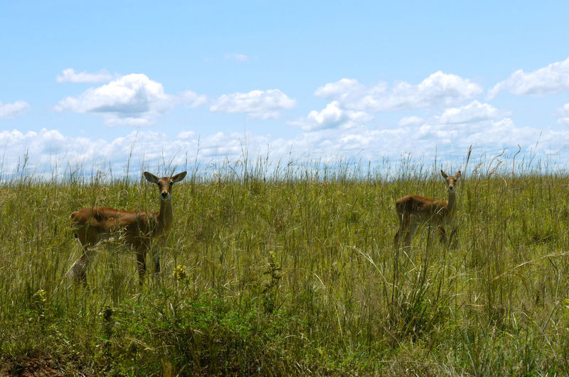 Wild deer stand in the high grass and look into the camera Mammal Animal Animal Themes Grass Sky Field Group Of Animals Cloud - Sky Land Animal Wildlife Vertebrate Nature Beauty In Nature No People Animals In The Wild Day Standing Herbivorous Africa Safari Animals Beauty In Nature Grassland Deer