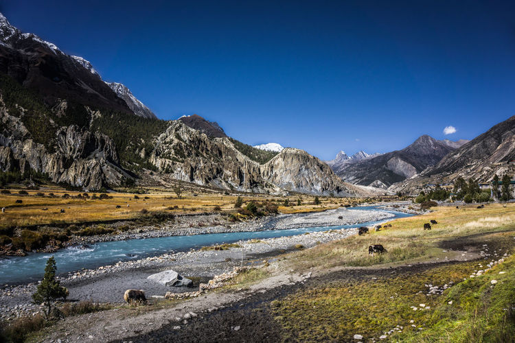 Idyllic Landscape of Manang Valley. Nepal Nepal Travel Annapurna Conservation Area Annapurnacircuit Manang Valley Mountain Range Scenics - Nature Beauty In Nature Sky Clear Sky Landscape Outdoors Nature Idyllic Grass River Animals Yak Cows Tree Trekking Hiking Travel Travel Destinations Pasture