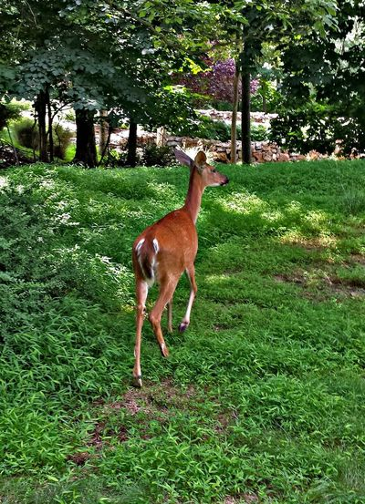 Animal Themes One Animal Grass Mammal Green Color Domestic Animals Day No People Outdoors Nature Growth Standing Full Length Deersighting Deer Beauty In Nature Exquisite Beauty Animal Wildlife Nature Animals In The Wild