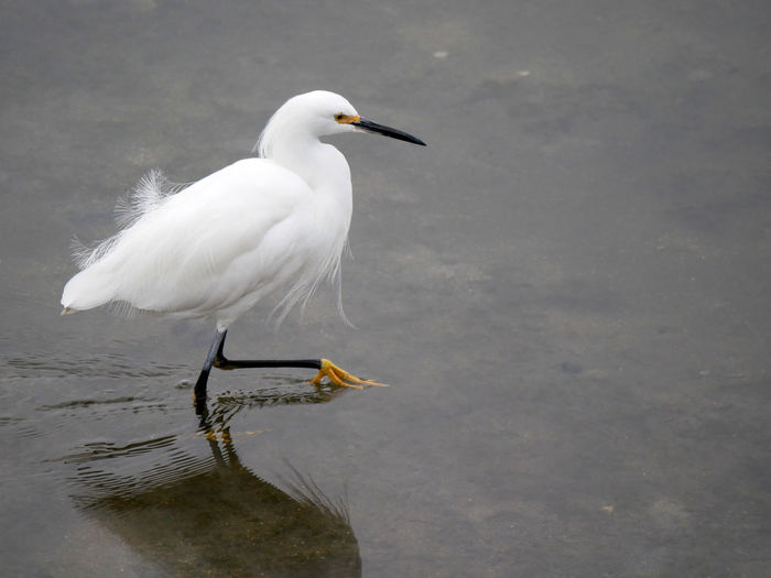 Animal Themes Animal Wildlife Animals In The Wild Beauty In Nature Bird Day Lake Nature No People One Animal Outdoors Perching Snowy Egret Water White Color