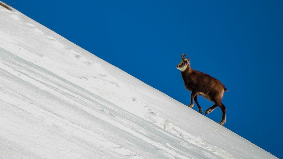 Wild goat walking on snow against clear sky