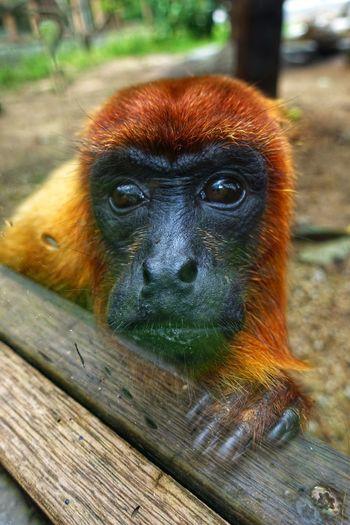 Close-up portrait of gorilla at zoo