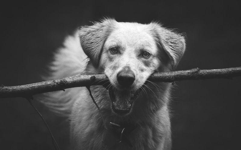 Close-up portrait of dog.  dark background.  stick in mouth.  cute.