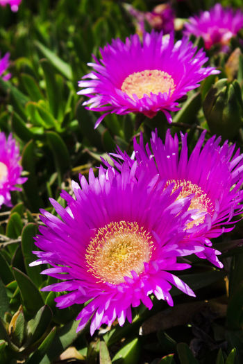 Flowering Plant Flower Vulnerability  Beauty In Nature Fragility Plant Flower Head Petal Inflorescence Growth Freshness Close-up Pink Color Nature Pollen Focus On Foreground No People Leaf Day Plant Part Purple Gazania