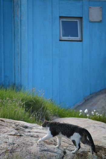 Ilulissat, Greenland, July | midnight sun | impressions of Jakobshavn | cat walking on a rock with a blue house in the background Day Outdoors Greenland Ilulissat Impression Scenery Mammal Animal Themes Animal One Animal Domestic Animals Pets Domestic No People Cat Domestic Cat Vertebrate Building Exterior Building Side View Built Structure Rock Walking House Blue