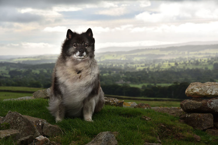 Countryside Keeshond Leyburn Nature One Animal Outside Portrait Wensleydale Yorkshire Dales