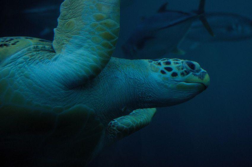 National Marine Aquarium Aquarium Plymouth Turtle Animal Themes Animal One Animal Animal Wildlife Vertebrate Animals In The Wild Sea Water Underwater Sea Life Blue Swimming Marine Nature UnderSea Close-up