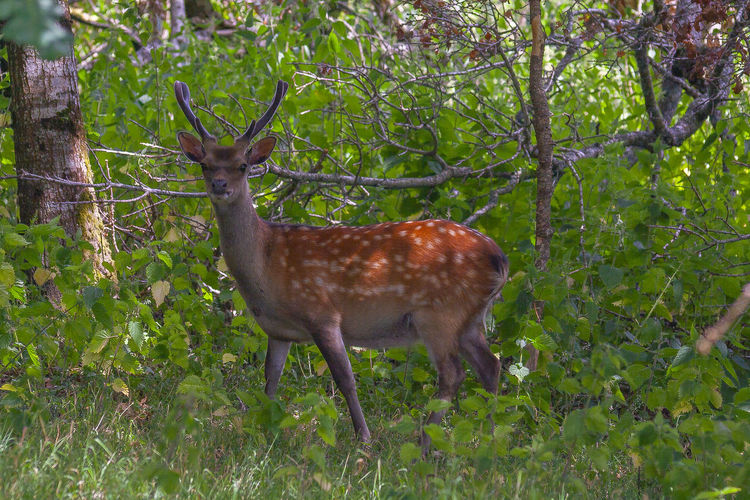 Deer Doneraile Grass Nature Pasture Plants Tree Walk Animal Animal Themes Animal Wildlife Animals In The Wild Day Deer Deers Doneraile Park Land Mammal Mammals, No People, Animal Theme Meadow Nature No People Park Pasture, Paddock, Grassland, Pastureland Plant