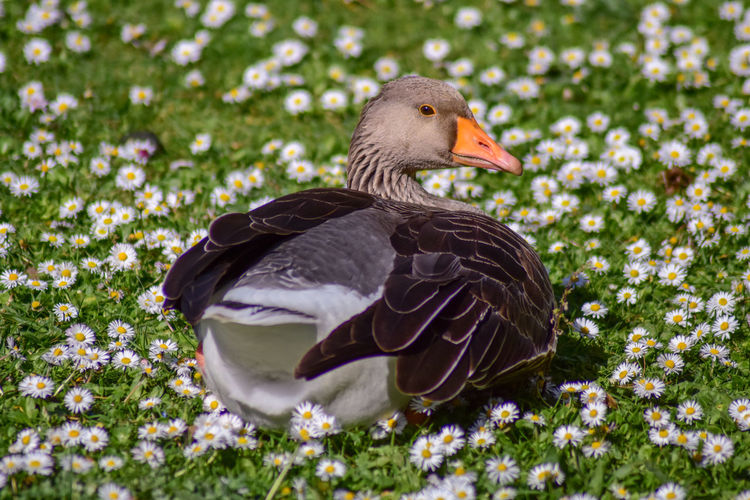 Bird Animal Themes Animals In The Wild Animal Animal Wildlife Vertebrate Plant Nature Duck Day No People Grass Poultry One Animal Water Bird Goose Flower Beauty In Nature Field Close-up Outdoors Beak Profile View My Best Photo British Culture