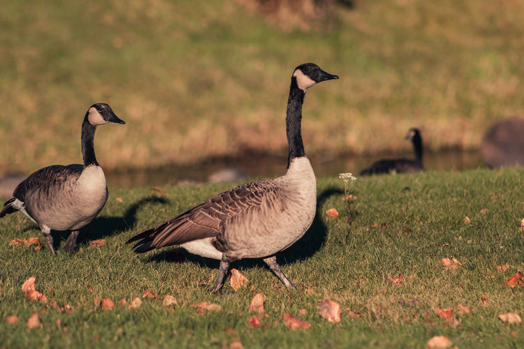 Canada geese perching on field