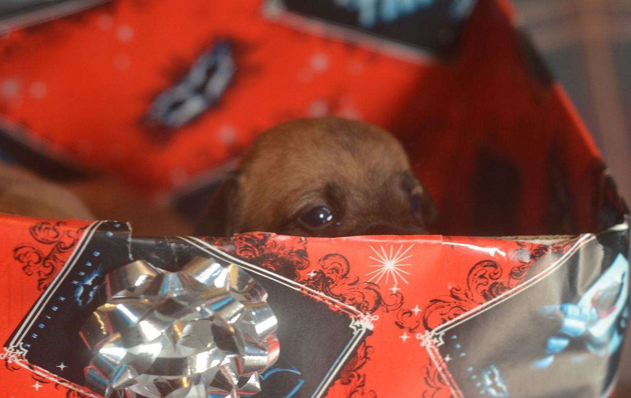one animal, pets, mammal, domestic animals, animal themes, close-up, indoors, celebration, box - container, no people, dog, gift, day