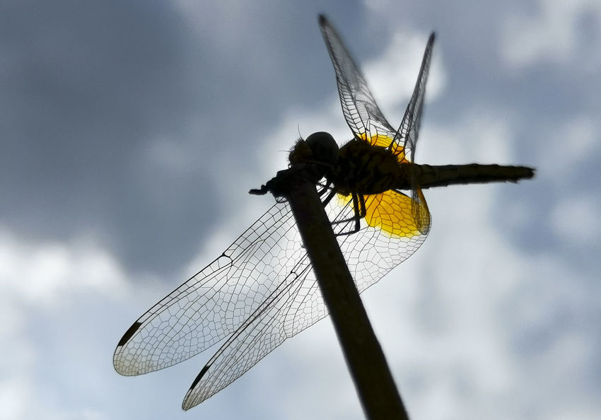 Silhouette. Dragonfly perch above the branches with cloud background Insect Invertebrate Animal Wing Animals In The Wild Animal Wildlife Animal Themes Dragonfly One Animal Animal Close-up Sky Nature Day Focus On Foreground No People Cloud - Sky Outdoors Low Angle View Plant