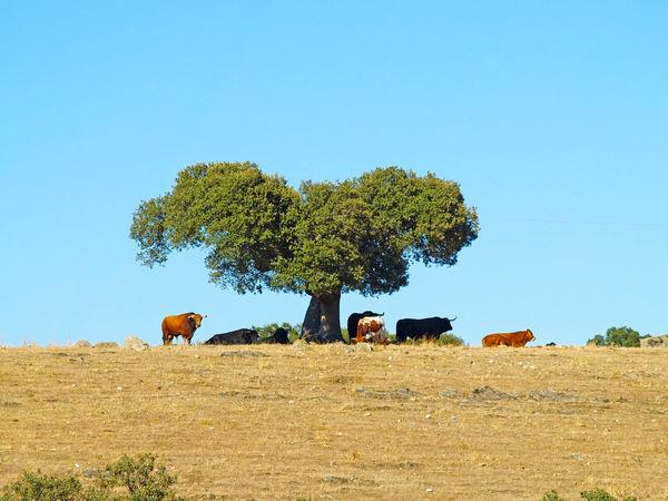 Animal Animal Themes Animals Bull Bulls Cow Cows Dangerous Animals Day Dehesa Environment Holm Oak Nature Outdoors Powerful Quercus Quercus Ilex Scenics Sihouette  Toro Toros Tree Wild Wildlife If Trees Could Speak