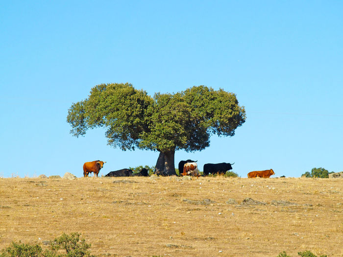 Animal Animal Themes Animals Bull Bulls Cow Cows Dangerous Animals Day Dehesa Environment Holm Oak Nature Outdoors Powerful Quercus Quercus Ilex Scenics Sihouette  Toro Toros Tree Wild Wildlife If Trees Could Speak