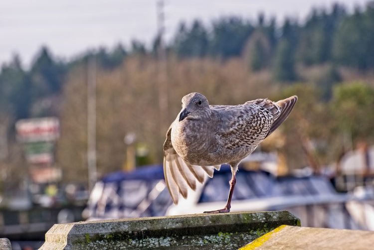 A young seagull does yoga on the waterfront in Olympia, Washington Olympia, Wa Winter Yoga Pose Young Animal Themes Animal Wildlife Animals In The Wild Bird Close-up Day Focus On Foreground Juvinile Nature No People One Animal Outdoors Perching Sea Bird Seagull Waterfront Young Animal Shades Of Winter