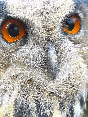 Balou 💕 EuropeseOehoe Eagleowl BuboBubo Owl Art Owls💕 Bird Photography EyeEm Birds ArtWork Art Artistic