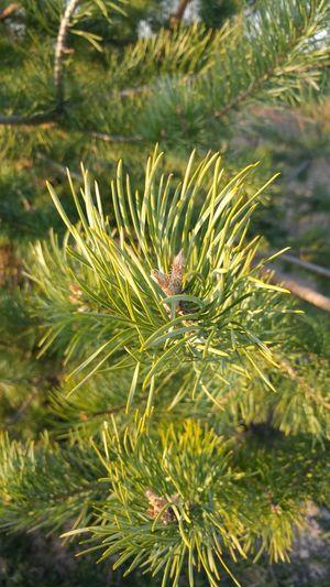 Branch Spruce