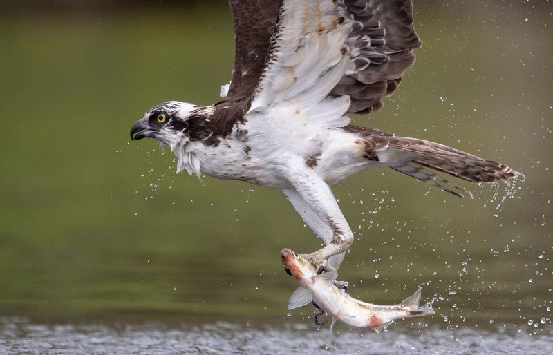 Osprey fishing Fishing Osprey  Animal Animal Themes Animal Wildlife Animals In The Wild Vertebrate Bird One Animal Water Lake No People Waterfront Flying Spread Wings Nature Day Motion Focus On Foreground Mid-air Outdoors